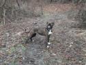Amstaff &Dog vânătoare