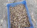 Puiet bulbi tuberoza / polianthes tuberosa / tuberoze
