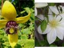 Seminte clematis korean beauty/montana alba, lemon,