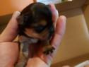 Pui cățel yorkshire terrier toy