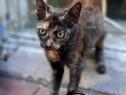 Pisica Angelina pui pisica tortoishell adoptie