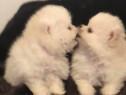 Pomeranian alb