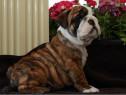 Caini bulldog englez bucuresti,oradea,brasov, constanta.is