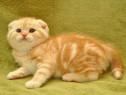 Pisicute scottish fold bucuresti