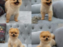 Pomeranian Boo, pasaport international, microcip