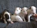 Bull Terrier de inalta calitate genetica, pui la 6 saptamani