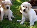 Labrador Retriever, par scurt, aurii, masculi si femele