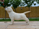 Pui Labrador Retriever
