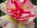 Puiuti trandafir de desert Pink-Gold