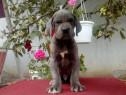 Dog german blue,gri,albastru!!