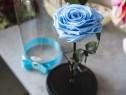 Trandafir criogenat XXL, Baby Blue, in cupola de sticla