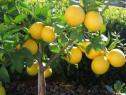 Lamai Altoit la Ghiveci Roditor cu Fructe si Plini de Flori