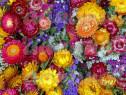 150 Seminte Flori de pai - Helichrysum bracteatum