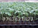 Rasaduri legume : Rasad de rosii ardei castraveti vinete