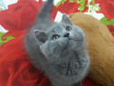 British shorthair!!!