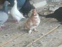 Porumbei jucători albi încălțați si montați