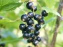 Coacaz negru ruben