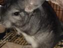 Chinchila , mascul , 7 luni + cusca , mancare si nisip