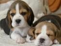 Beagle Catelusi Superbi