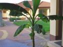 Bananier japonez musa basjoo - 2m