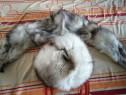 Căciulă și guler din vulpe argintie