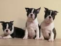 Pui boston terrier