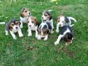 Beagle de calitate,Canisa!!!