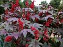 Seminte de Ricin-planta inalta 1-2m, frunze bordo-ornamental
