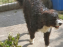 Ciobanesc de Bucovina, Mascul, 5 luni !