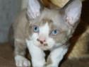 Pisici Devon Rex bucuresti brasov iasi galati constanta tm