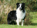 Border Collie, pasaport international, microcip