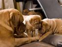 Dog de Bordeaux, pasaport international, microcip