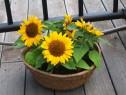 50 seminte Floarea Soarelui miniatura (pitica) ornamentala
