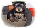 Yorkshire(yorki)terrier femele&masculi!!