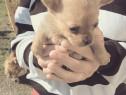 Chihuahua talie mica varsta 2 luni trimit video cu pui