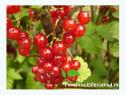 Arbustisi si pomi fructiferi