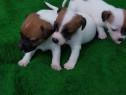Jack russell/russel terrier!!