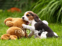 Caini beagle bucuresti oradea brasov constanta iasi galati