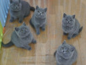 British shorthair blue și Scottish Fold de calitate puri