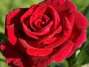 Curatare cosmetizare trandafiri tufa, pe picior sau urcator