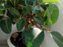 Ficus matur
