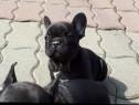 Pui de bulldog (buldog) francez femele&masculi!!