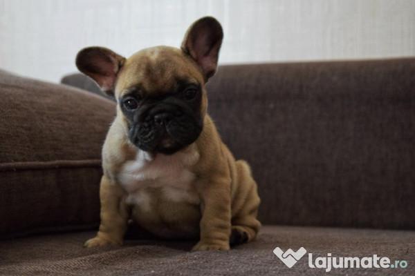 Pui Bulldog Francez Bej 300 Eur Lajumatero