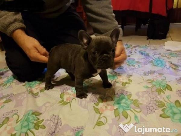 Pui Bulldog Francez Buldog Francez Albastrugriblue 700 Eur