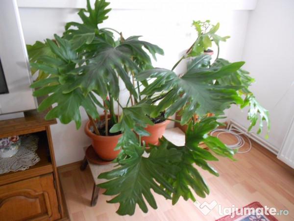 Plante ornamentale apartament 100 ron for Plante ornementale